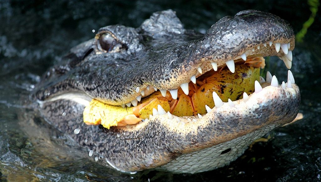 alligator iso