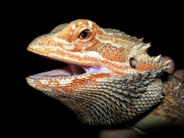 how long do bearded dragons live for