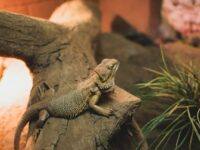 How Long Do Bearded Dragons Live