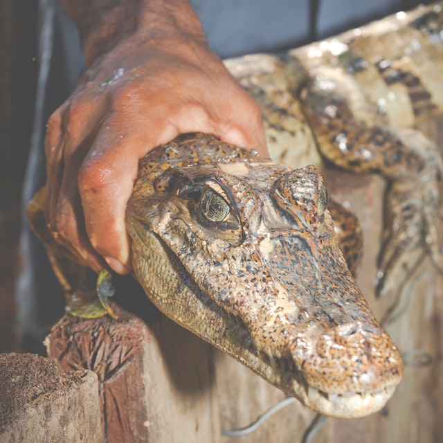 crocodile snout